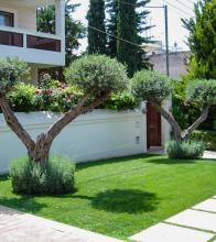 Κλαδεμένες σε σχήματα ελιές μαζί με αρωματικά φυτά,λεβάντες