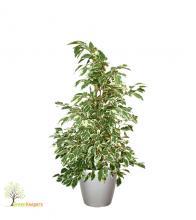 Ficus benjamin starlight, φυτά εσωτερικού χώρου, φίκος μπένζαμιν